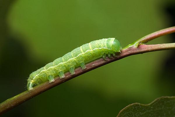 植物誘使毛蟲吃同類