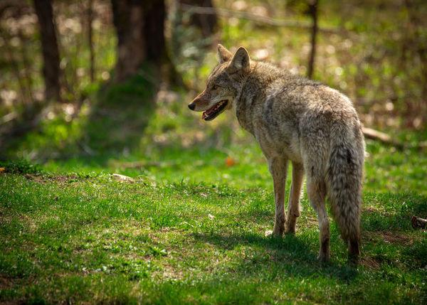 土狼撿到狗的玩具後竟然表現地像狗了