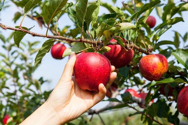 蘋果佬約翰尼真的在全美各地種植了蘋果嗎?
