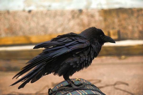 澳洲鴉已經學會了如何食用有毒的蔗蟾蜍