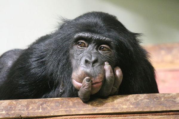 自控能力越好的黑猩猩越聰明