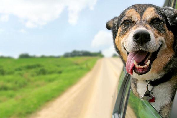 狗的身體語言:舔脣