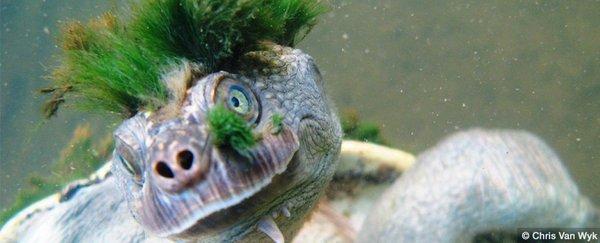 瀕危動物:通過屁股呼吸的朋克頭河龜