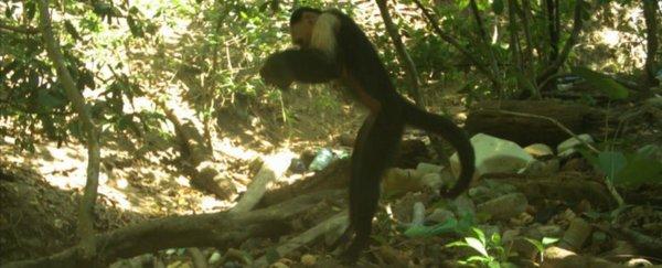 這群捲尾猴似乎邁進了石器時代