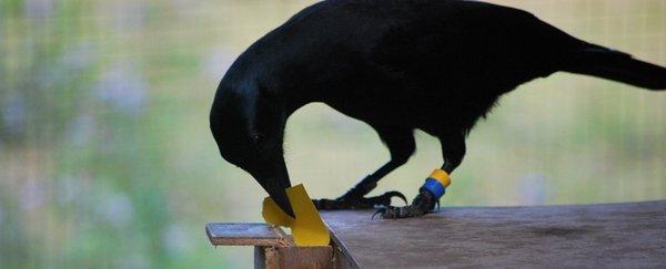 烏鴉不但能使用工具還能自行改良工具