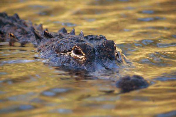 面對短吻鱷我們該怎麼做?