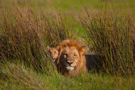 偷獵者闖入南非自然保護區盜取犀牛角,三人落入獅口