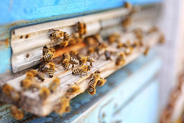 蜂蜇毒素中有可以緩解特應性皮炎的物質