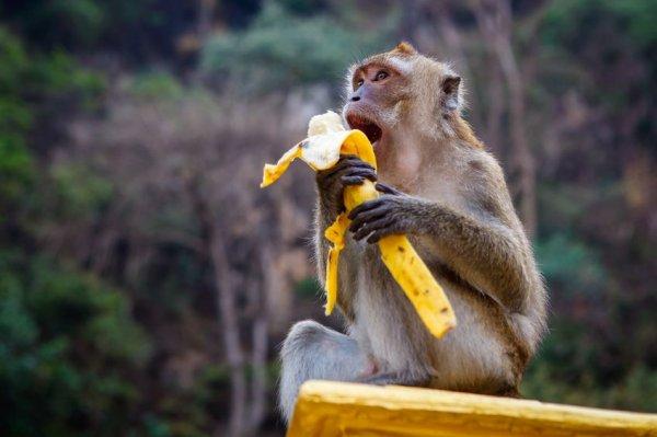不只是利用工具,印尼的猴子們還學會了打劫遊客