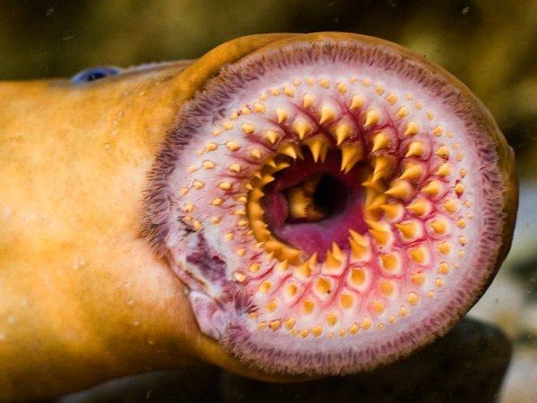 恶心的寄生生物:七鳃鳗